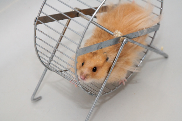 Simple living hamster running in a wheel